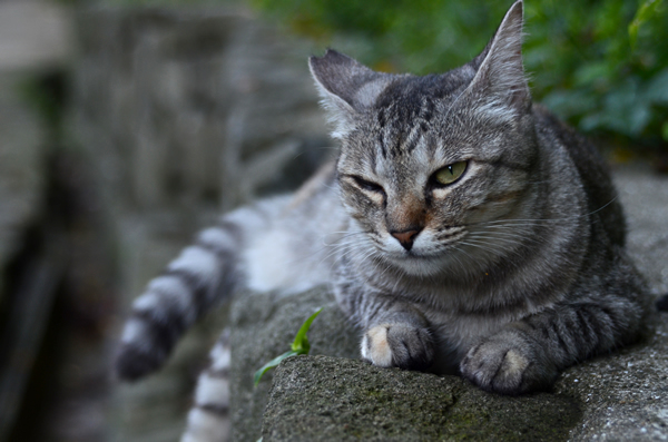 サバトラ猫ミコちゃん