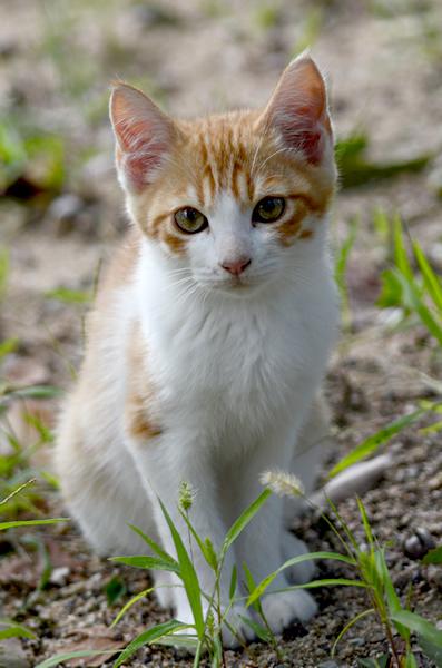 茶白猫子猫
