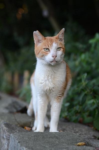 茶白猫・ペロちゃん
