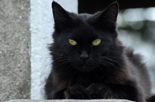 黒猫 長毛