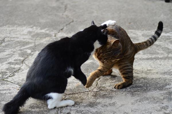 キジトラ猫 はちわれ猫
