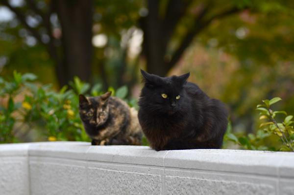 黒猫 サビ猫(べっこう猫)