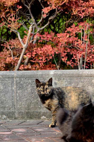 サビ猫(べっこう猫) 子猫 黒猫