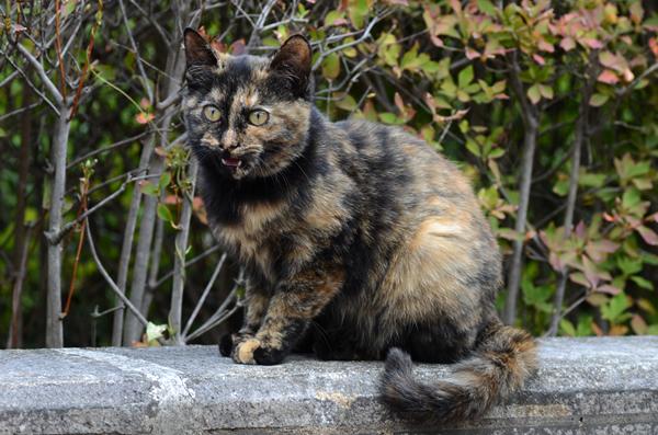 サビ猫(べっこう猫) 子猫