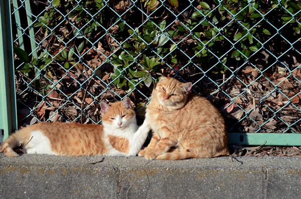 茶白猫 茶トラ猫 子猫 兄弟 お昼寝