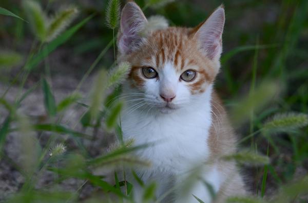 茶白猫 子猫