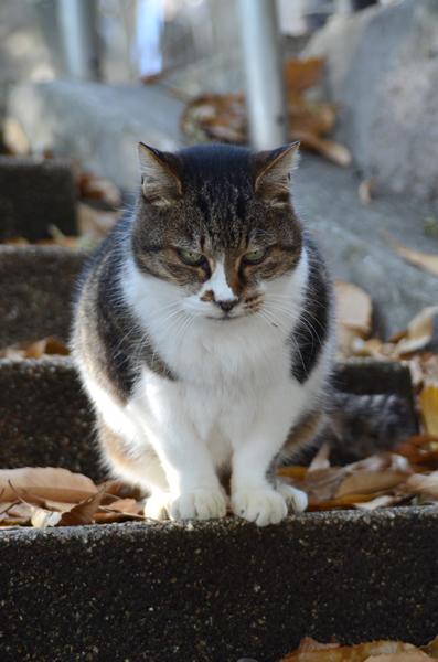 キジ白猫 ミーちゃん