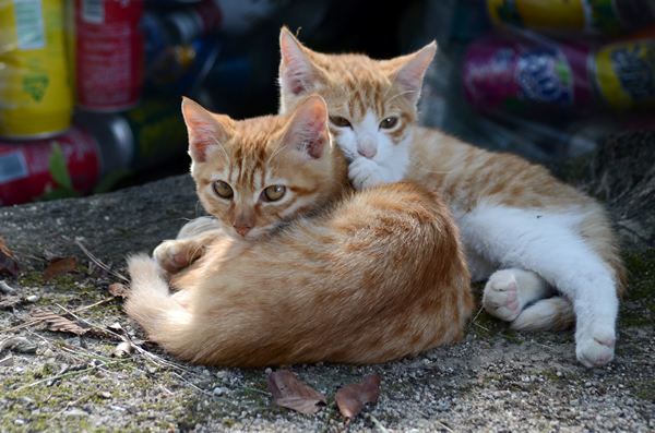 茶トラ猫 子猫 茶白猫 子猫 兄弟