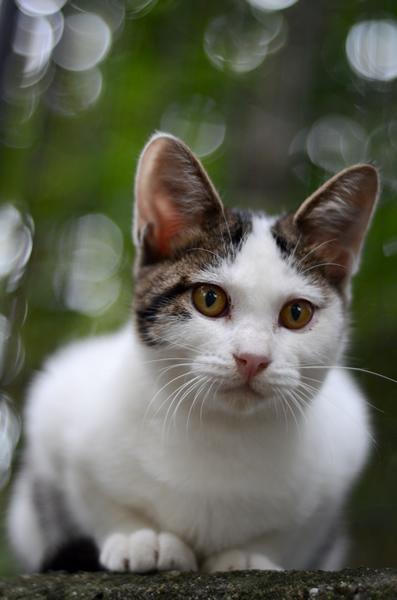 キジ白猫 子猫 なっちゃん