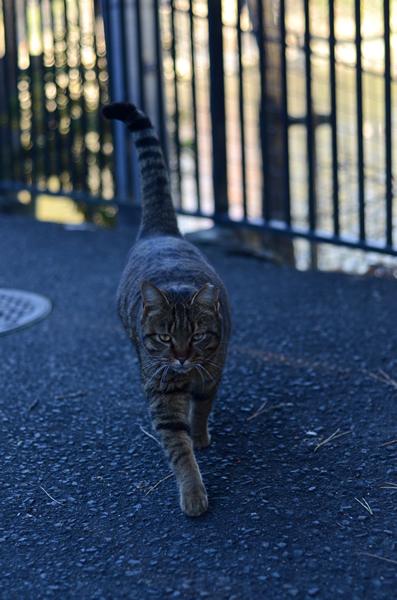 キジトラ猫 日陰