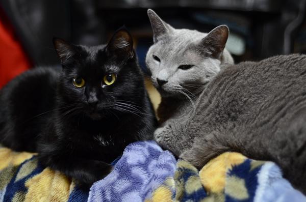 レオン マチルダ ロシアンブルー 黒猫