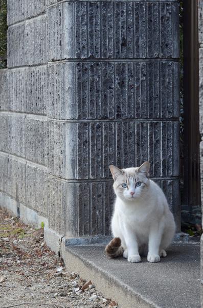 白猫 シャム系?