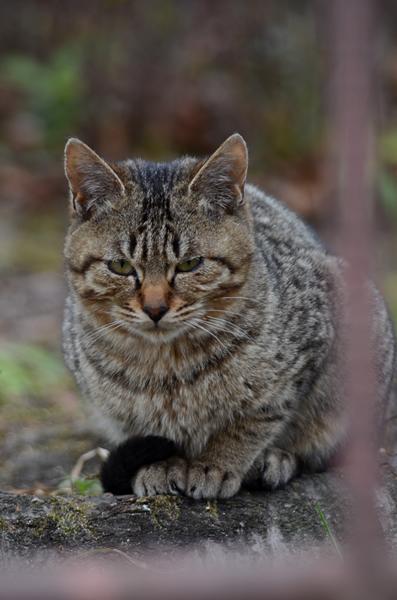 キジトラ猫 子猫