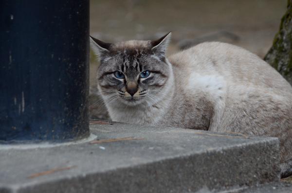 シャム系 白キジ猫