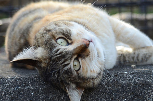 縞三毛猫 トモちゃん