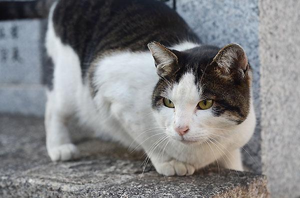 キジ白猫 マーちゃん