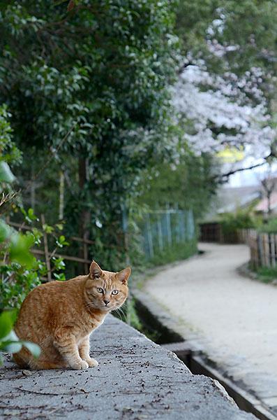 茶トラ猫 チビちゃん 桜