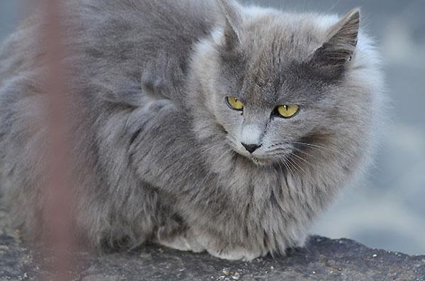 灰色猫 長毛 子猫