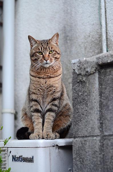 キジトラ猫 彼
