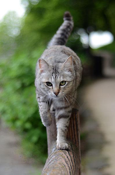 キジトラ猫 サバトラ猫 ミコちゃん