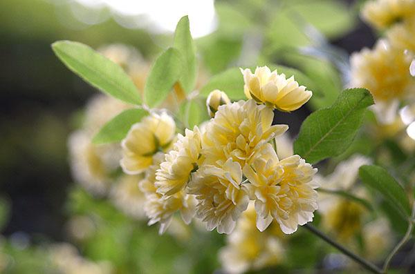 木香薔薇 モッコウバラ