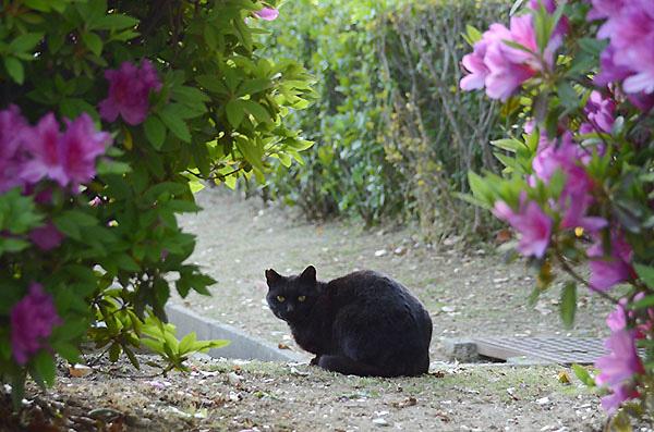 黒猫 ツツジ 躑躅