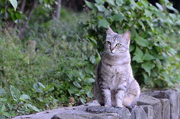 サバトラ猫 ミコちゃん