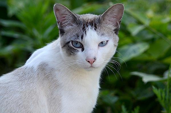 シンガプーラ風 白猫 青い目