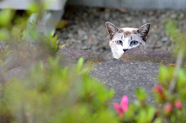 シンガプーラ風 白猫 子猫