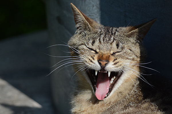 キジトラ猫 子猫 あくび