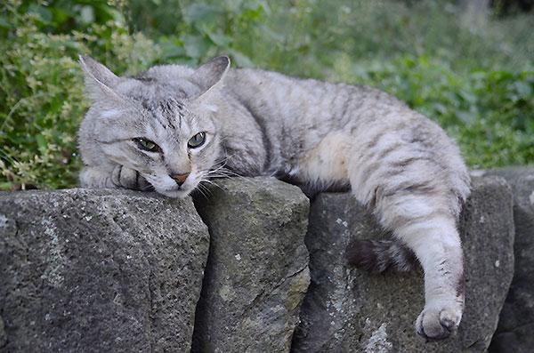 キジトラ猫 ミコちゃん