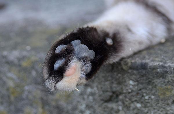 キジトラ猫 ミコちゃん 肉球