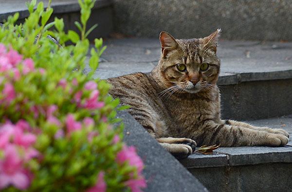 キジトラ猫 ツツジ