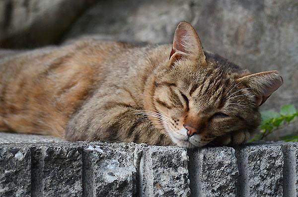 キジトラ猫 お昼寝
