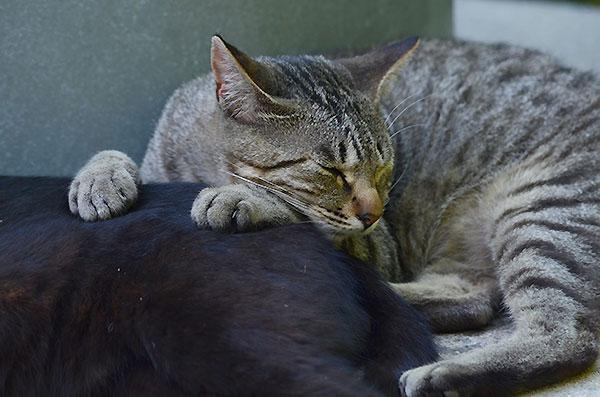 黒猫 キジトラ猫 子猫 お昼寝