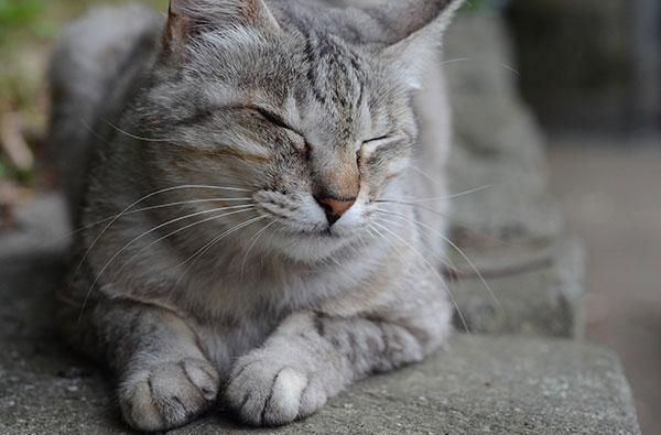 キジトラ猫 サバトラ猫 お昼寝