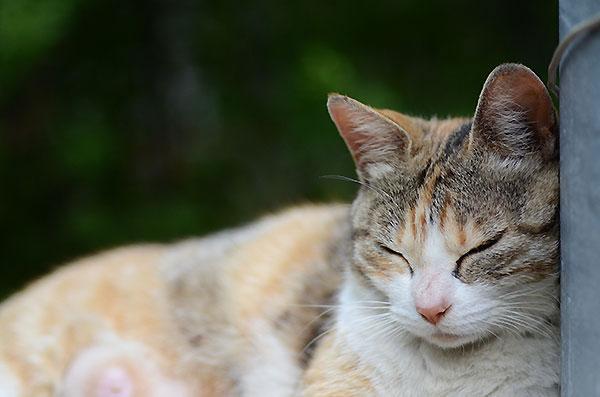 縞三毛猫 お昼寝