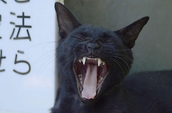黒猫 あくび