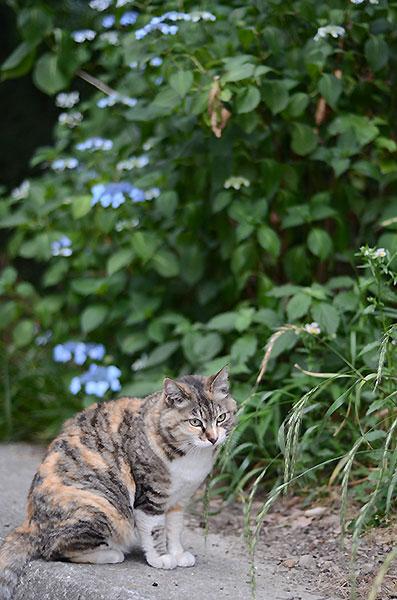 縞三毛猫 トモちゃん 紫陽花
