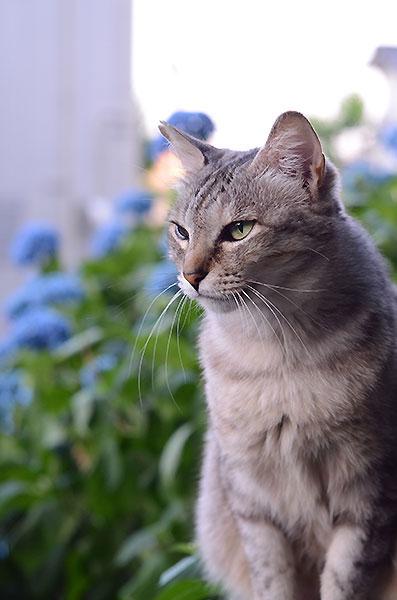 キジトラ猫 サバトラ猫 ミコちゃん 紫陽花