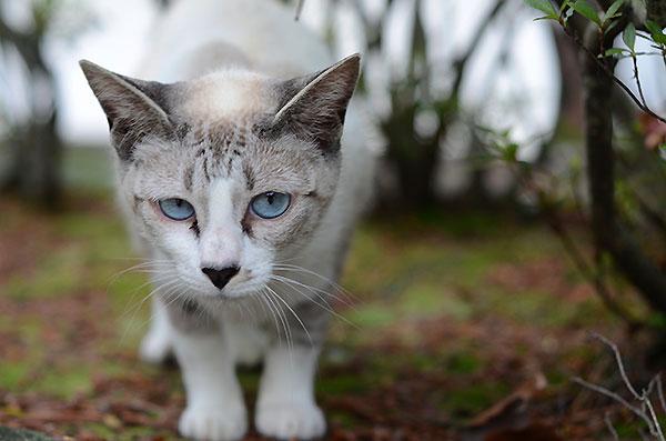 シャム猫風 シンガプーラ風 白猫