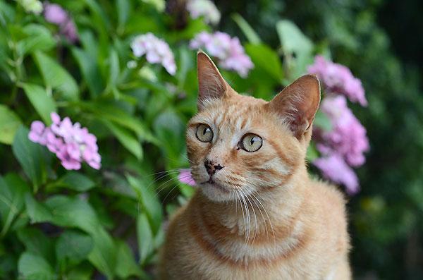 茶トラ猫 チビちゃん 紫陽花