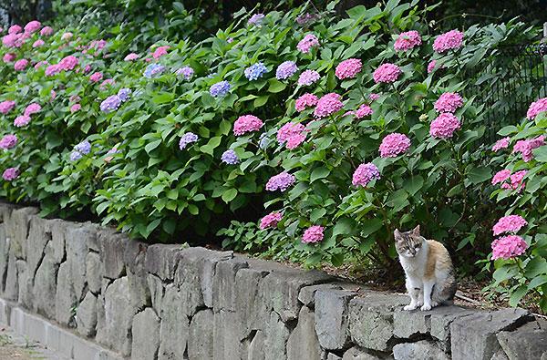 縞三毛猫 サイちゃん 紫陽花