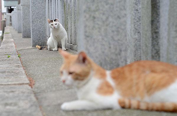 三毛猫 ミケちゃん お母さん 茶白猫