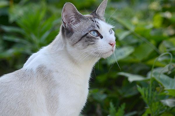 シャム猫風 シンガプーラ風猫