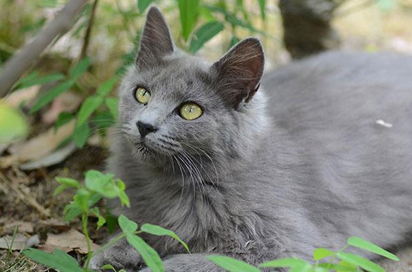 灰色猫 子猫