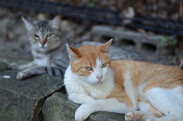 茶白猫 ペロちゃん キジトラ猫 ミコちゃん
