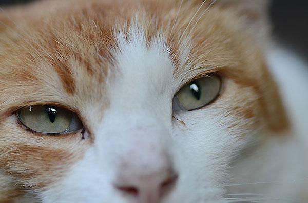 茶白猫 ペロちゃん