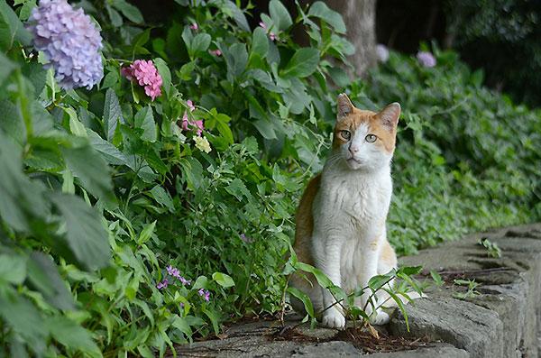 茶白猫 ペロちゃん 紫陽花