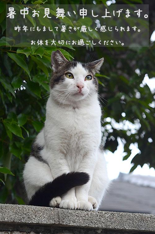 キジ白猫 マーちゃん 暑中見舞い